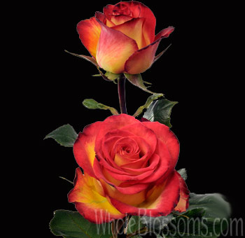 Bulk Flowers High Society Bicolor Roses