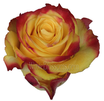 Hot Merengue Lemon Bicolor Rose