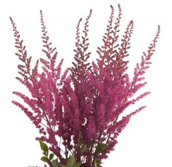 Fresh Cut Astilbe Hot Pink Flowers