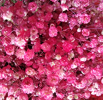 Hot Pink Babys Breath