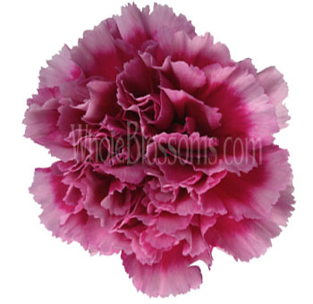 Dark Pink Bicolor Carnation Flower