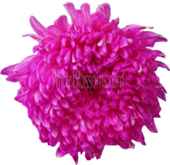 Jumbo Football Mum Tinted Hot Pink Flower