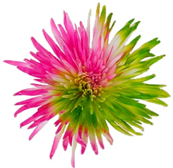 Lime Green-Hot Pink Spider Fall Mums