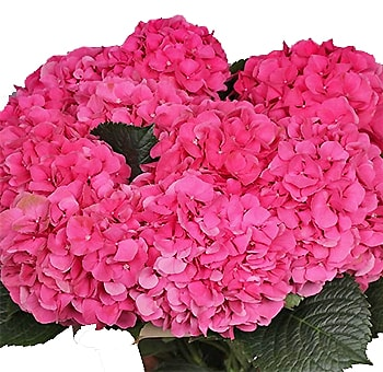 Hot Pink Hydrangea Dutch Flower