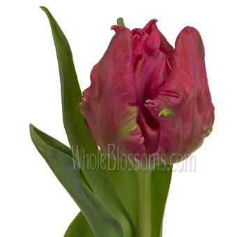 Parrot Tulips Hot Pink Marvel