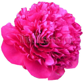 Hot Pink Fuchsia Peony Flowers for Wedding