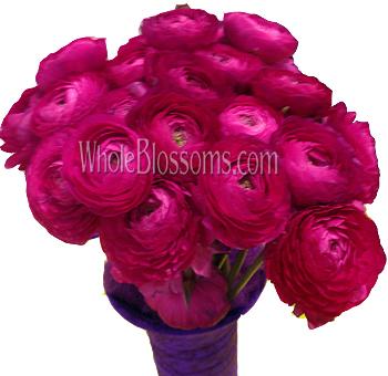 Bulk Hot Pink Ranunculus Flower At Wholesale Price
