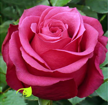 Cherry O Hot Pink Rose