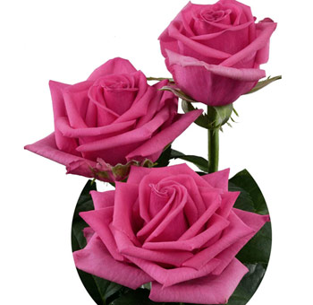Hot Pink Roses Farm Choice