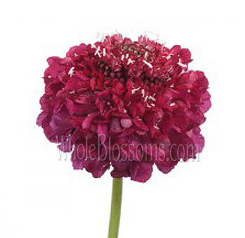 Scabiosa Dark Pink Rasberry Flower