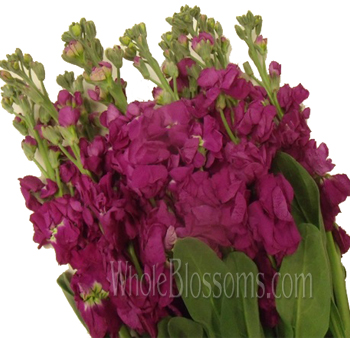 Stock Hot Pink Flower