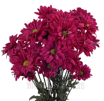 Daisy Pom Tinted Hot Pink Flowers