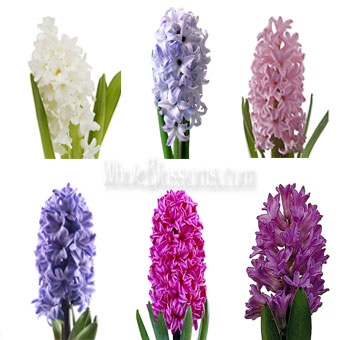 Hyacinth Flowers Assorted