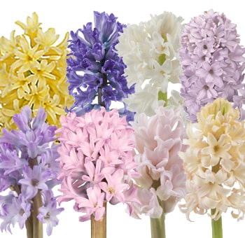 Hyacinth Pastel Colors Collection