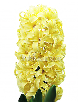 Hyacinth Yellow Flower