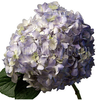 hydrangea-blue-flower-natural
