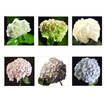Hydrangeas Jumbo - Choose your own colors | 40 stems