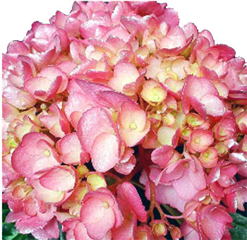 Silver Pink Airbrushed Hydrangea