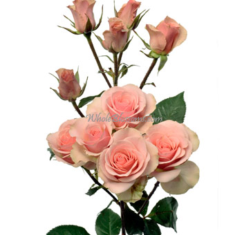 Wholesale Ilse Spray Roses For Sale