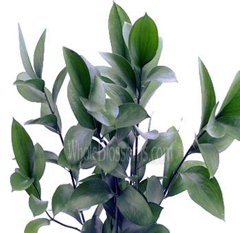 Israeli Ruscus Green Filler