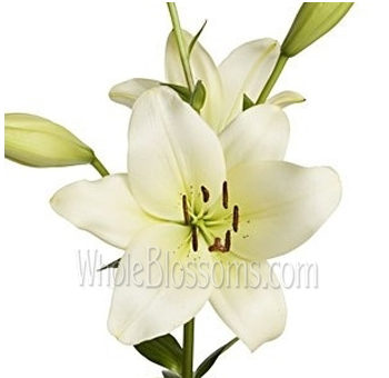 Oriental Lily Ivory Flowers