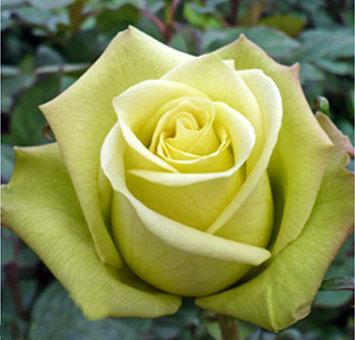 Jade Green Bulk Roses At Wholesale Price