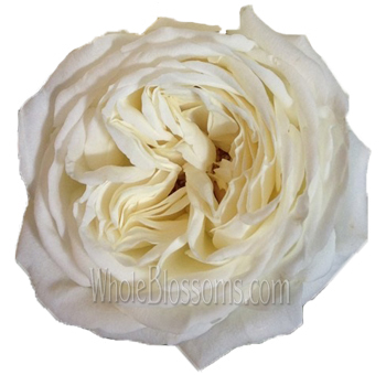 Superb Jeanne Moreau Pure Light Garden Rose