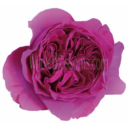 Dark Pink David Austin Kate Garden Rose