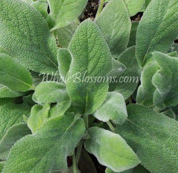Lamb's Ear Filler