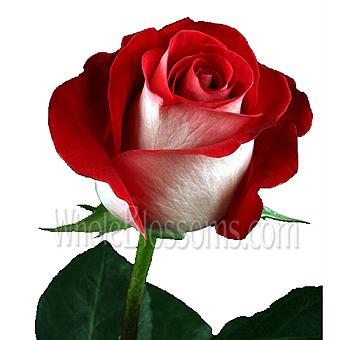 buy latin lady red white rose  sale