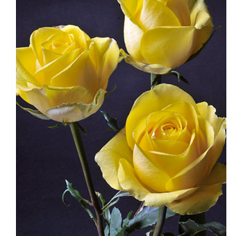 Latina Rose Bulk Yellow Flowers