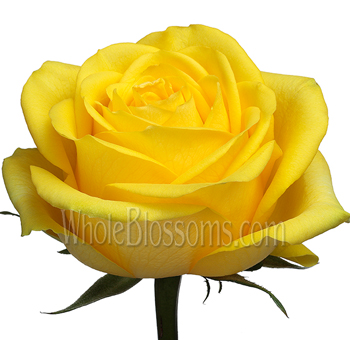 Latina Yellow Bulk Rose