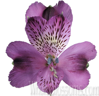 lavender-alstroemeria-wedding-flowers