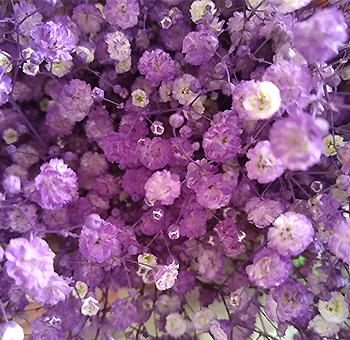 Lavender Baby Breath Flowers