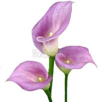 mini calla lily flower lavender - Calla Lily Flower