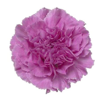 Carnation Lavender Flowers Fancy