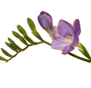 Freesia Lavender Flower