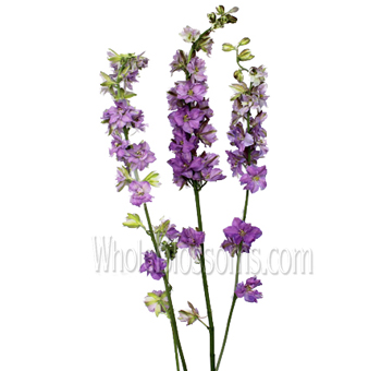 Larkspur Flower Blue Lavender