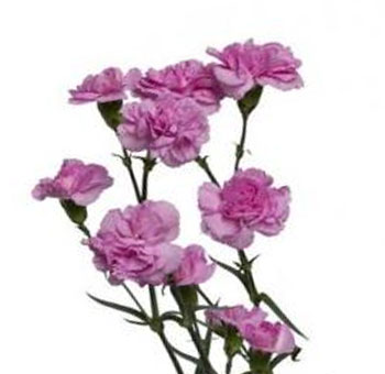 Lavender Mini Carnations for Valentine's Day