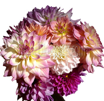 Mix of Lavender Light and Dark Pink Dahlia Flowers