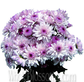 Cushion Pom Chrysanthemum Pink Lavender Flower