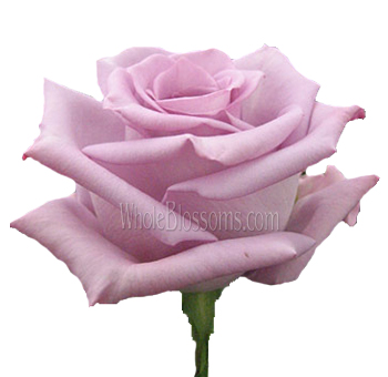 Wholesale Lavender Roses Blue Bird