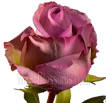 Lavender Organic Roses for Valentine's Day