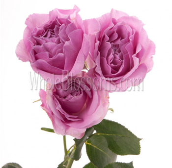 Lavender Spray Roses for Valentine's Day