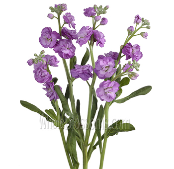 Stock Flower Lavender