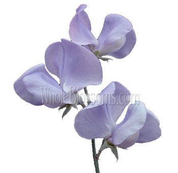 Sweet Pea Lavender Flower