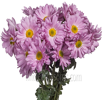 Daisy Poms Tinted Lavender Flowers