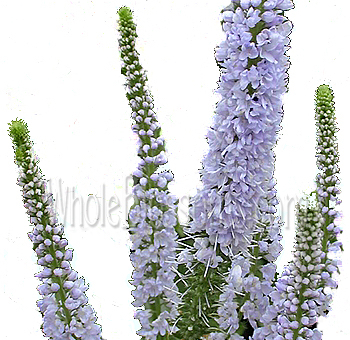 lavender-veronica-flower