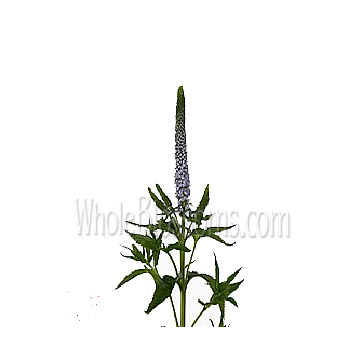 lavender-veronica-flowers