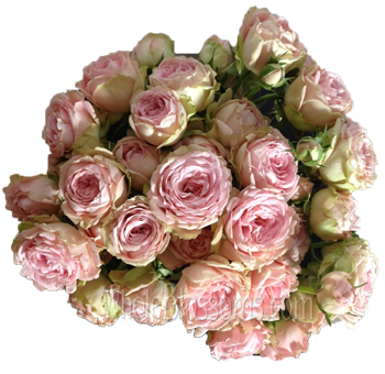 Lea Romantica Pink Spray Garden Rose